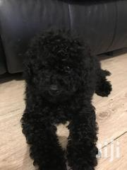 Adult Male Purebred Poodle | Dogs & Puppies for sale in Greater Accra, Ga East Municipal