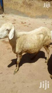 Female Sheep For Sale | Other Animals for sale in Northern Region, Gushegu