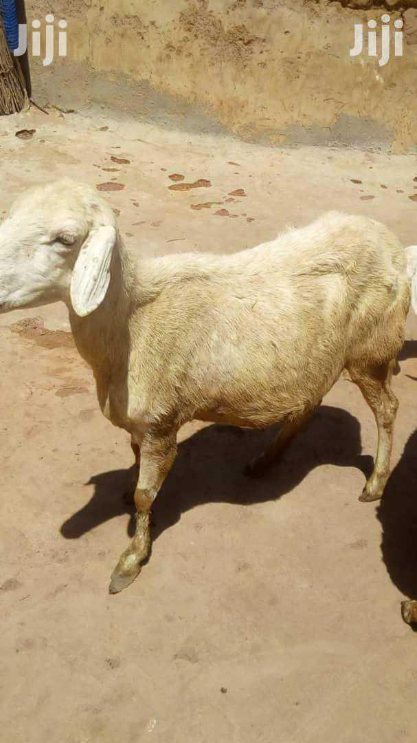 Archive: Female Sheep For Sale