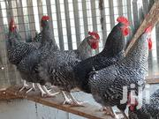 Male Chickens   Livestock & Poultry for sale in Ashanti, Ahafo Ano South