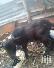 Goat Alive   Livestock & Poultry for sale in Greater Accra, Adenta Municipal