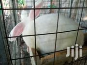 Rabbits For Sale | Livestock & Poultry for sale in Greater Accra, Achimota
