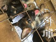 Baby Male Purebred German Shepherd Dog | Dogs & Puppies for sale in Greater Accra, Labadi-Aborm