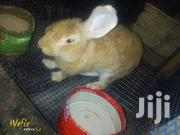 Healthy Rabbits For Sale   Livestock & Poultry for sale in Greater Accra, Labadi-Aborm