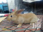 Pet Rabbits On Sale | Livestock & Poultry for sale in Greater Accra, Labadi-Aborm