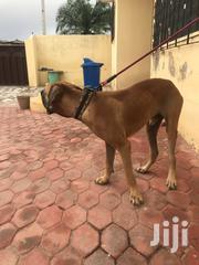 Adult Male Purebred Boerboel | Dogs & Puppies for sale in Greater Accra, Dansoman