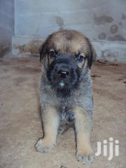 Baby Male Purebred Boerboel | Dogs & Puppies for sale in Ashanti, Ejisu-Juaben Municipal