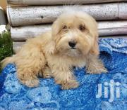 Baby Male Mixed Breed | Dogs & Puppies for sale in Greater Accra, East Legon