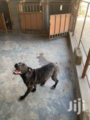 Young Female Mixed Breed Cane Corso | Dogs & Puppies for sale in Greater Accra, Ga West Municipal