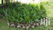 Dwarf Coconut Seedlings | Feeds, Supplements & Seeds for sale in Eastern Region, Lower Manya Krobo