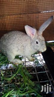 Rabbits For Sale | Livestock & Poultry for sale in Greater Accra, Dzorwulu