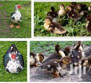 Muscovy Duckling | Other Animals for sale in Central Region, Awutu-Senya