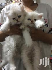 Baby Male Purebred Persian | Cats & Kittens for sale in Ashanti, Adansi North