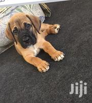 Baby Male Purebred Boerboel | Dogs & Puppies for sale in Ashanti, Kumasi Metropolitan