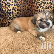 Baby Male Purebred English Toy Spaniel | Dogs & Puppies for sale in Greater Accra, Achimota