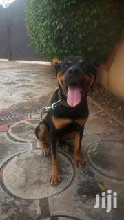 Adult Male Mixed Breed Rottweiler | Dogs & Puppies for sale in Greater Accra, Achimota