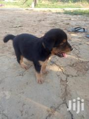 Baby Male Purebred Black and Tan Coonhound | Dogs & Puppies for sale in Ashanti, Adansi South