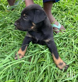 Baby Female Mixed Breed Rottweiler