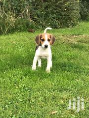 Baby Male Purebred Beagle | Dogs & Puppies for sale in Ashanti, Adansi North