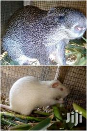 Grasscutters | Other Animals for sale in Greater Accra, Ashaiman Municipal