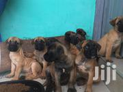 Baby Female Mixed Breed Bullmastiff | Dogs & Puppies for sale in Ashanti, Bosomtwe