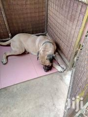 Adult Male Mixed Breed Boerboel | Dogs & Puppies for sale in Ashanti, Kumasi Metropolitan