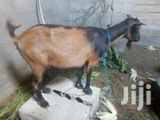 Female Goats   Livestock & Poultry for sale in Greater Accra, Adenta Municipal