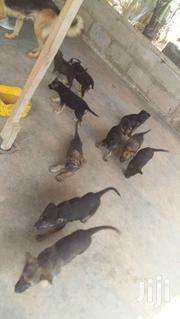 Baby Female Purebred German Shepherd Dog | Dogs & Puppies for sale in Greater Accra, Ga East Municipal