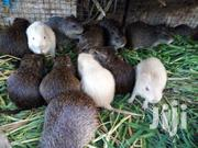 Live Grasscutters | Other Animals for sale in Greater Accra, Ashaiman Municipal