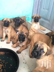 Baby Female Mixed Breed Boerboel | Dogs & Puppies for sale in Ashanti, Kumasi Metropolitan