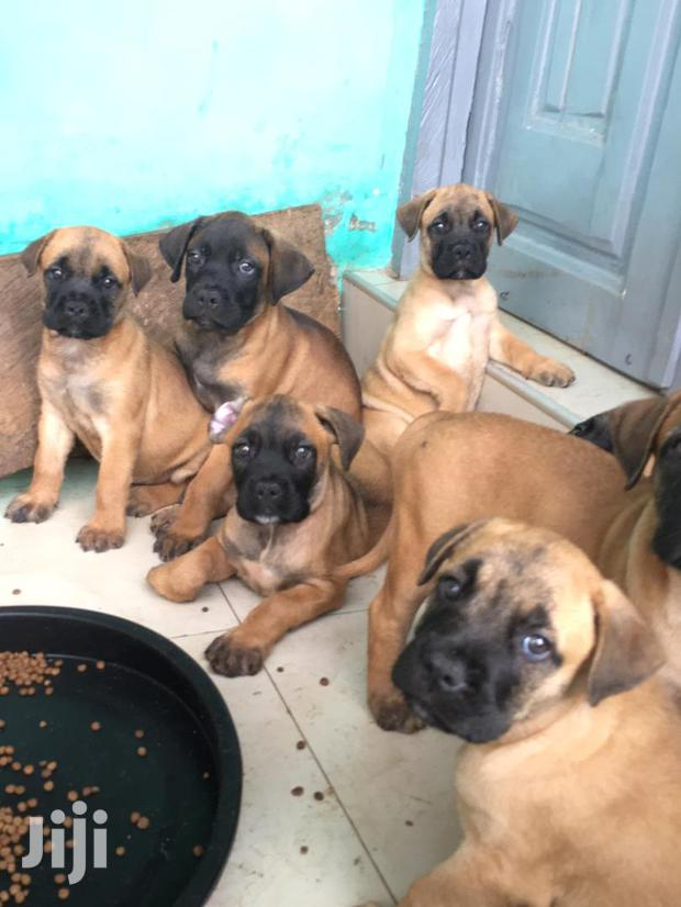 Archive: Baby Female Mixed Breed Boerboel