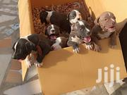 Baby Female Purebred American Pit Bull Terrier | Dogs & Puppies for sale in Greater Accra, Tema Metropolitan