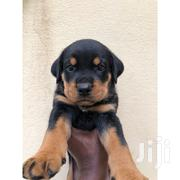 Young Male Mixed Breed Rottweiler | Dogs & Puppies for sale in Greater Accra, East Legon (Okponglo)