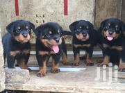 Baby Female Purebred Rottweiler | Dogs & Puppies for sale in Greater Accra, Cantonments
