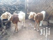 Sheep For Sale   Livestock & Poultry for sale in Northern Region, Gushegu