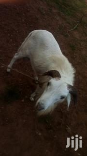 Sheep | Livestock & Poultry for sale in Northern Region, Nanumba South