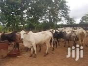 Alhaj Dokurugu Animals Buying And Selling | Livestock & Poultry for sale in Northern Region, Nanumba South