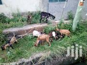 Selling Of Goat And Sheep | Livestock & Poultry for sale in Greater Accra, Nungua East