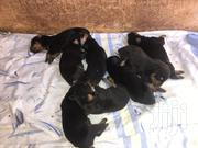 Baby Female Purebred Doberman Pinscher   Dogs & Puppies for sale in Greater Accra, Tema Metropolitan