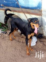 Adult Male Mixed Breed Doberman Pinscher | Dogs & Puppies for sale in Greater Accra, Teshie new Town
