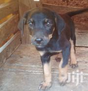 Young Male Mixed Breed Doberman Pinscher | Dogs & Puppies for sale in Greater Accra, Teshie new Town