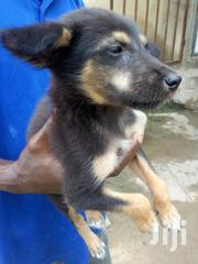 Baby Male Mixed Breed German Shepherd Dog | Dogs & Puppies for sale in Greater Accra, Ga West Municipal