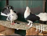 Fancy Pigeons | Birds for sale in Greater Accra, Teshie-Nungua Estates