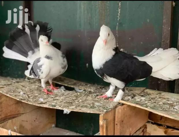 Archive: Fancy Pigeons