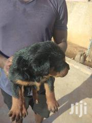 Baby Female Purebred Rottweiler | Dogs & Puppies for sale in Greater Accra, Labadi-Aborm