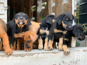 Young Male Mixed Breed Rottweiler