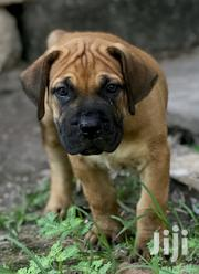 Baby Female Purebred Boerboel   Dogs & Puppies for sale in Greater Accra, Ga South Municipal