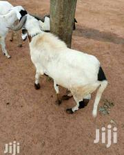 With Affordable Price | Other Animals for sale in Northern Region, Gushegu