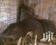 Live Grass Cutters | Other Animals for sale in Greater Accra, Ga West Municipal