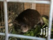Life Grasscutter | Other Animals for sale in Greater Accra, Teshie new Town